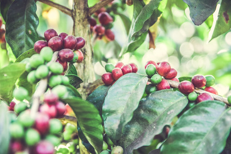 Red coffee beans on tree - ripe and mature coffee beans in the harvest time Stok Fotoğraf