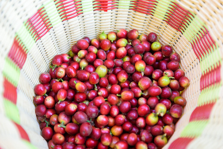 Coffee beans on tree - picking with a basket the coffee beans in the harvest time Stock Photo