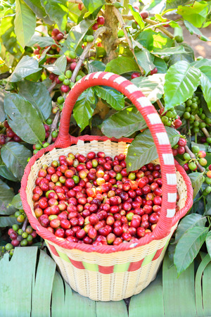 coffee harvest: Coffee beans on tree - picking with a basket the coffee beans in the harvest time Stock Photo