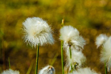 Landmannalaugar - Amazing flower field in the Highland of Iceland