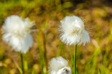 landscape: Landmannalaugar - Amazing flower field in the Highland of Iceland