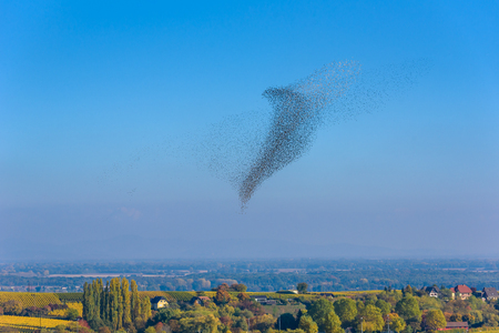Flock  and swarm of birds - beautiful formations of flying birds 스톡 콘텐츠