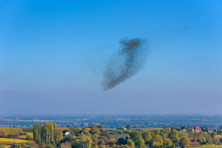 Flock  and swarm of birds - beautiful formations of flying birds Stock Photo
