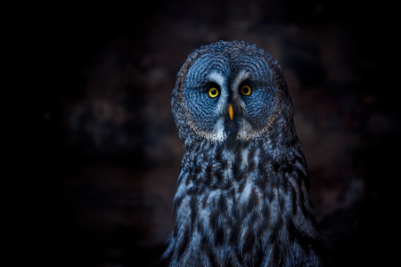 Great Grey Owl (also tawny vulture, Science. Strix nebulosa) is a large owl family of owls. Beautiful wildlife.
