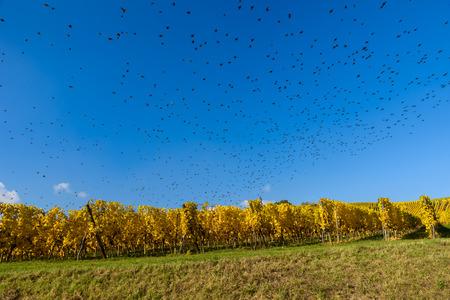 Flying bird swarm - togetherness of animals