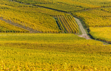 Vineyards of alsace - close to small village Hunawihr, France
