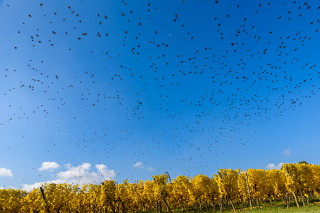 Flying bird swarm - togetherness of animals