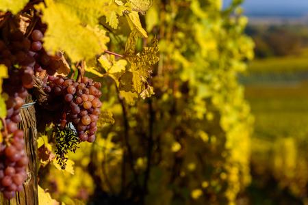 Wine grape - harvest season in the vineyard