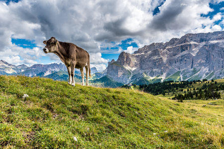 Dolomites Italy - Cow on the pasture Banco de Imagens - 87883982