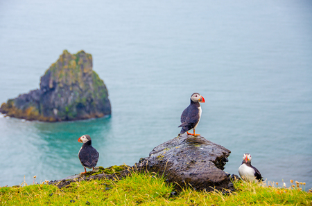 Puffin - Iceland Stock Photo