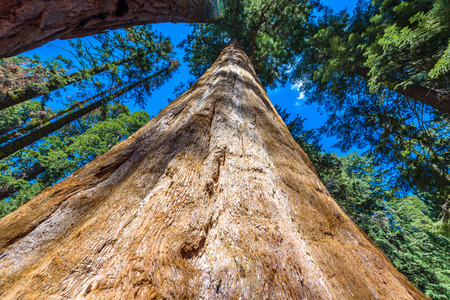 Giant sequoia forest - the largest trees on Earth in Sequoia National Park, California, USA