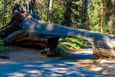 Tunnel Log in Sequoia National Park. Tunnel 8 ft high, 17 ft wide.  California, United States.