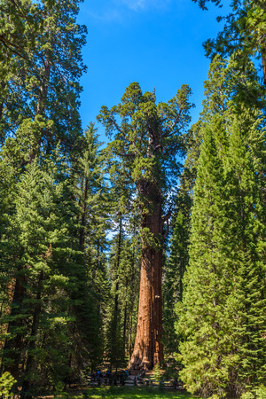 sequoia: General Sherman Tree - the largest tree on Earth, Giant Sequoia Trees in Sequoia National Park, California, USA