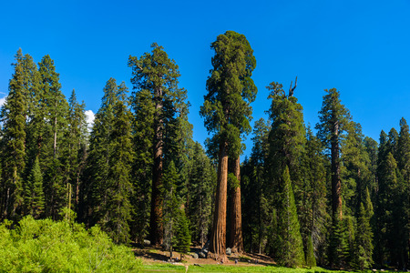 People walking on the Big Trees Trail in Sequoia National Park where are the biggest trees of the world, California. USA. Stock Photo