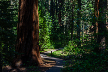 Beautiful scenery on the Big Trees Trail in Sequoia National Park where are the biggest trees of the world, California. USA.