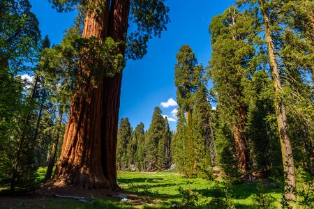 People walking on the Big Trees Trail in Sequoia National Park where are the biggest trees of the world, California. USA. Reklamní fotografie