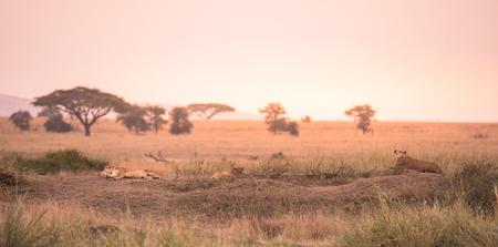Female African Lion (Panthera leo) on top of a hill in Tanzania's Savannah at sunset - Serengeti National Park, Safari in Tanzania Stock Photo