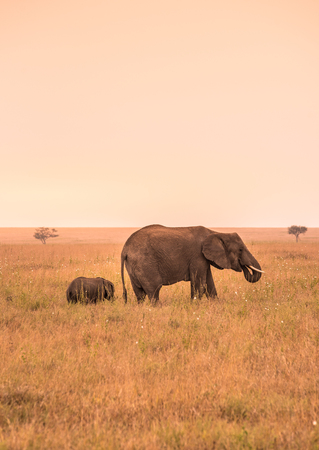 Parent African Elephant with his young baby Elephant in the savannah of Serengeti at sunset. Acacia trees on the plains in Serengeti National Park, Tanzania. Wildlife Safari trip in  Africa.