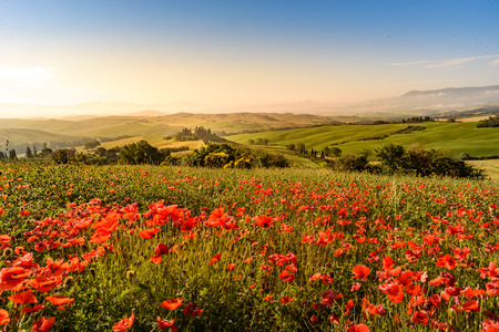 Poppy flower field in beautiful landscape scenery of Tuscany in Italy, Podere Belvedere in Val d Orcia Region - travel destination in Europe Фото со стока