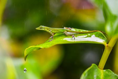 Lizard on leaf - Close up to beautiful animal on grean leaf
