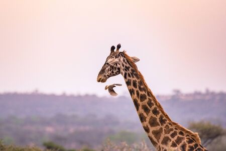 Jirafa solitaria en la sabana del Parque Nacional Serengeti al atardecer. Naturaleza salvaje de Tanzania - África. Destino de viaje de Safari. Foto de archivo