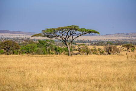 Imagen panorámica de un solitario árbol de acacia en Savannah en el Parque Nacional Serengeti, Tanzania - Safari en África Foto de archivo