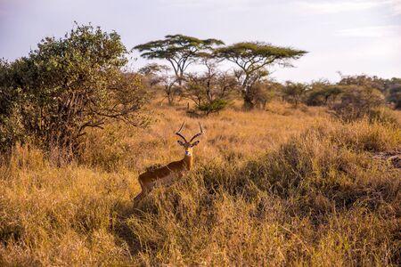 Gazelle in the bush - Game drive with Safari car in Serengeti National Park in beautiful landscape scenery, Tanzania, Africa