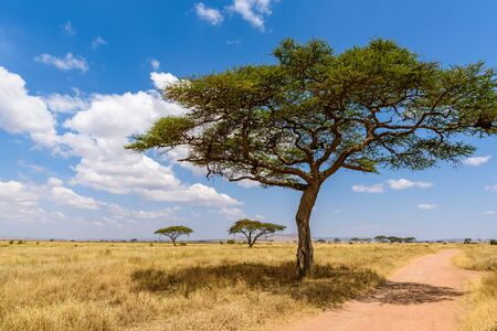 Drive on dirt road with Safari car in Serengeti National Park in beautiful landscape scenery, Tanzania, Africa