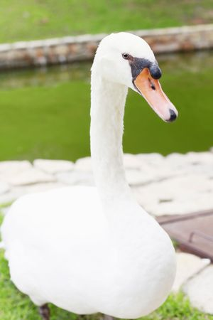 A White Swan Standing on Grass Next to a Lake