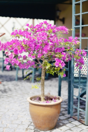 Purple Bougainvilleas flowers in an Earthen Plant Pot photo