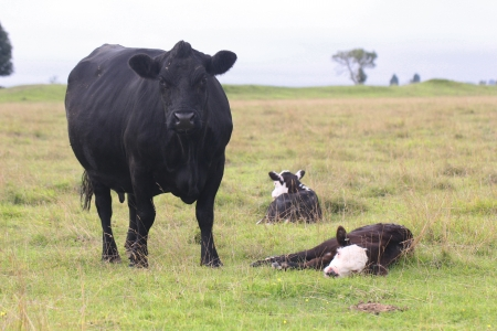 Black Cow and Calves in a Field
