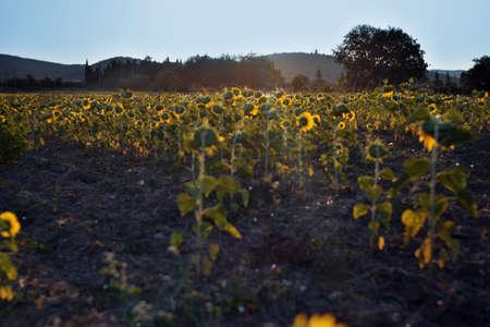sunflower field at sunset Standard-Bild