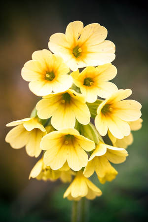 close up of blooming primrose flowers in bright yellow with blurred background
