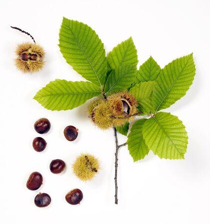 sweet chestnut isolated on white