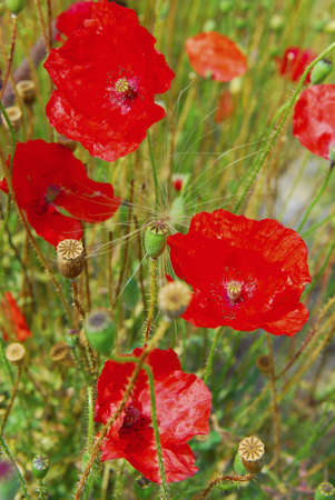 Red Poppy Stock Photo - 18050350