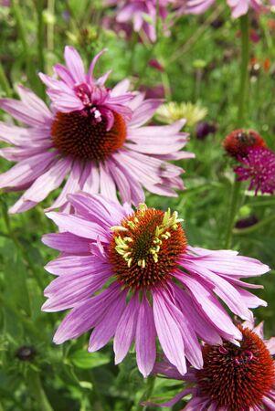 echinacea purpurea: Echinacea purpurea - purple coneflower Stock Photo