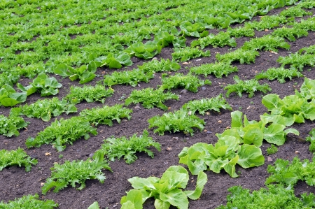 View of rows of green lettuces Stock Photo