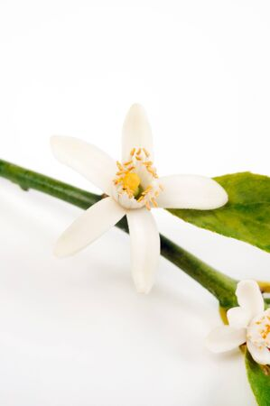 Citrus blossom isolated over white background photo