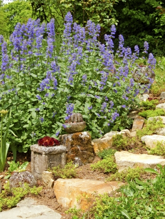 Flowering Catnip Plant, Nepeta  Stock Photo