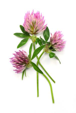 trifolium: red clover  Trifolium pratense  isolated over white background