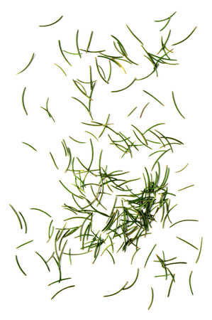 pine tree needles: dried fir needles after christmas isolated over white background