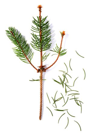 dried out after christmas fir branch isolated over white background Stock Photo