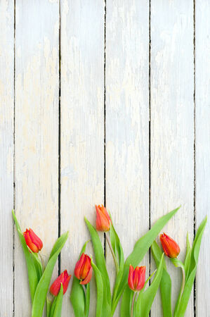 over white background: beautiful red tulips over white wooden textured background