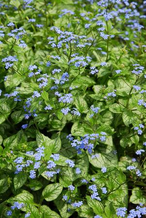 "jack frost: Bugloss siberiano (brunnera macrophylla  ""Jack Frost "")"