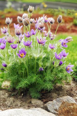 vulgaris: pasque flower (Pulsatilla vulgaris) in spring