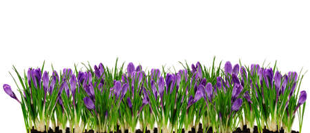 croci: spring easter garden border with crocuses isolated over white Stock Photo