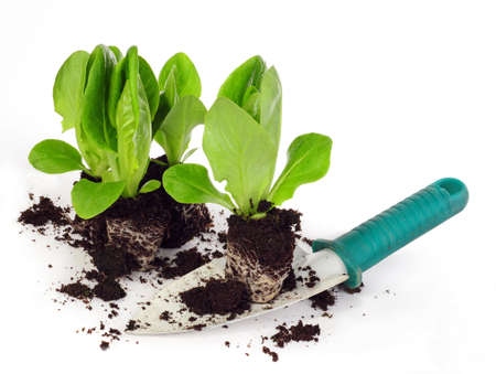 lettuce seedlings on shovel isolated on white background photo