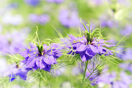 Nigella damascena  love-in-a-mist, ragged lady