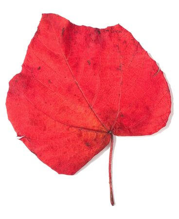 discolored: red autumn leaf isolated over white background (vitis)