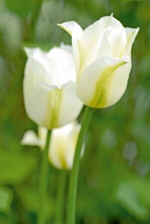 white tulips Spring green in spring meadow Stock Photo